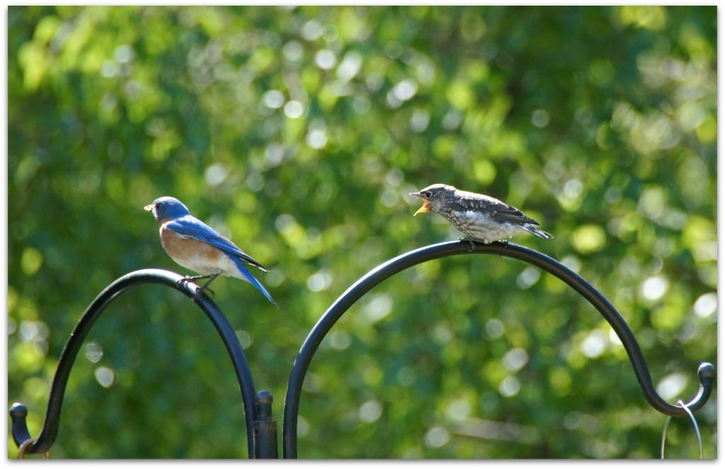 Eastern Bluebird fledgeling wants food