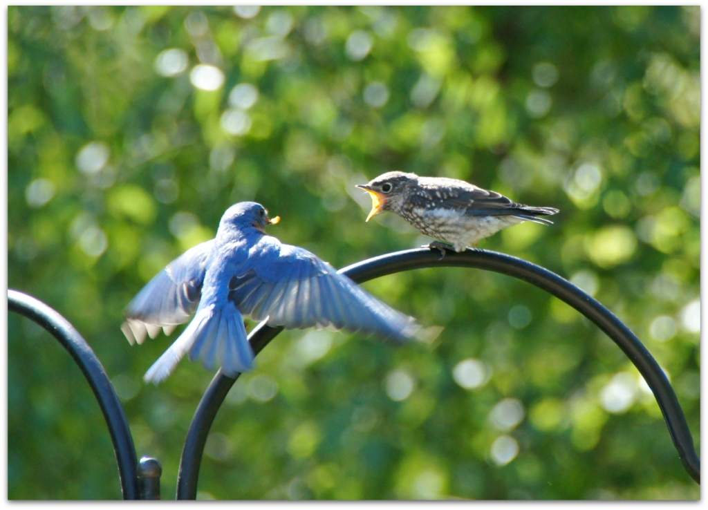 Eastern Bluebird father and child