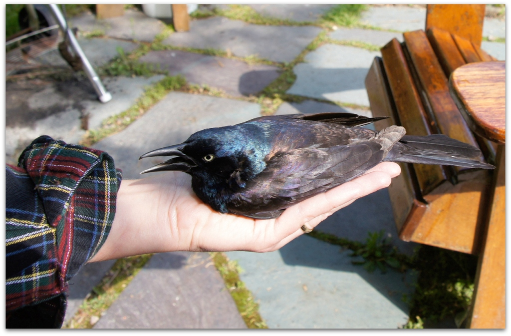 Common Grackle in my hand