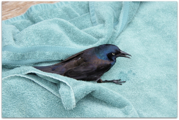 Common Grackle on a towel