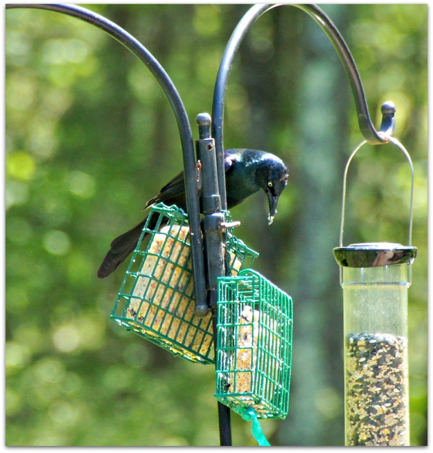 grackle on suet