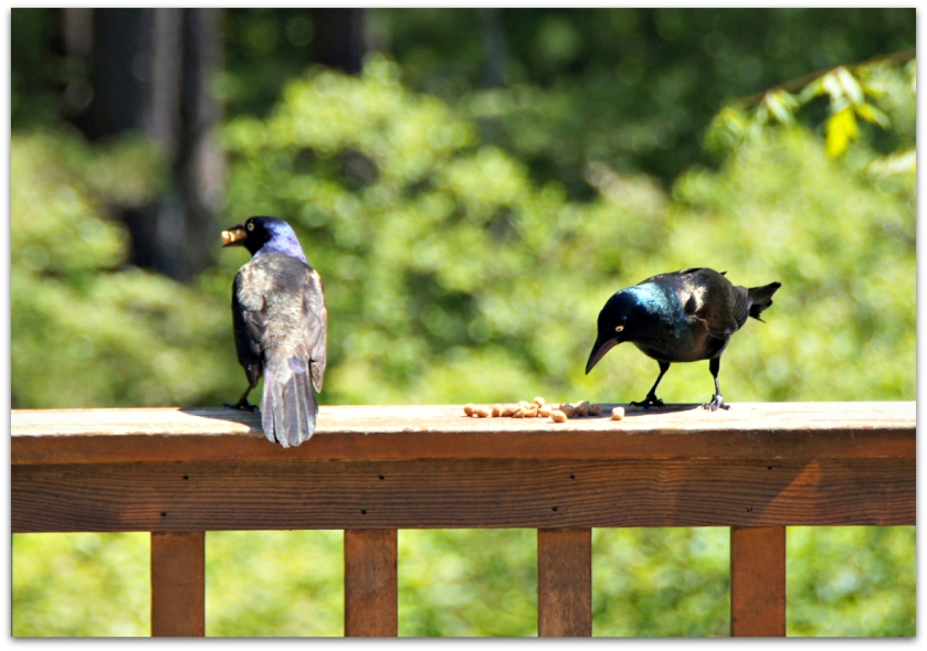 two grackles