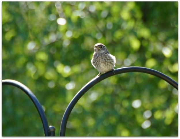 fledgeling bluebird