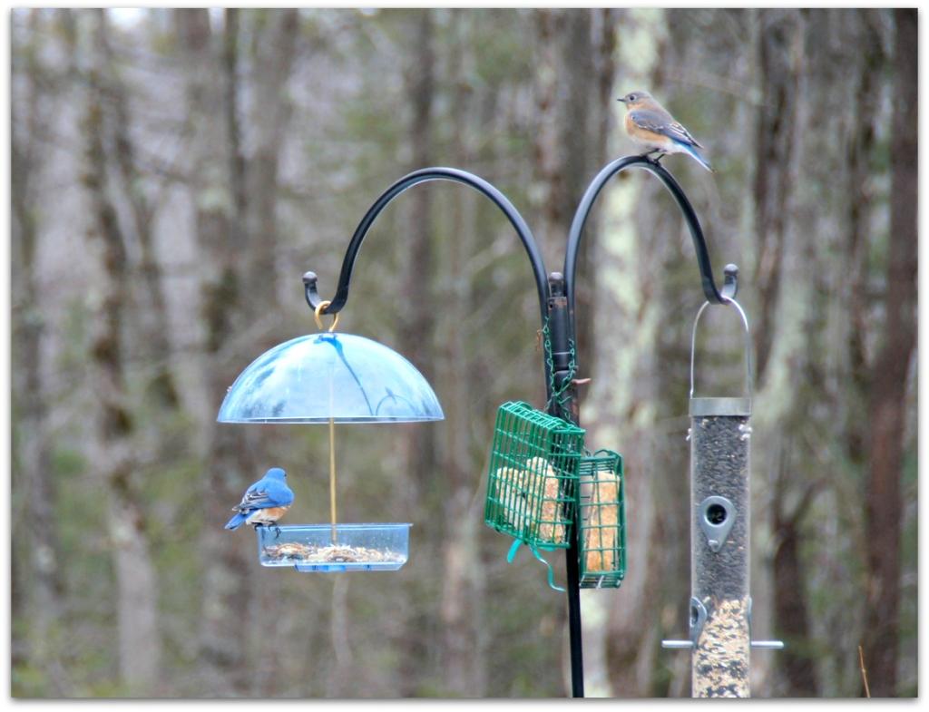 Feeder for bluebirds
