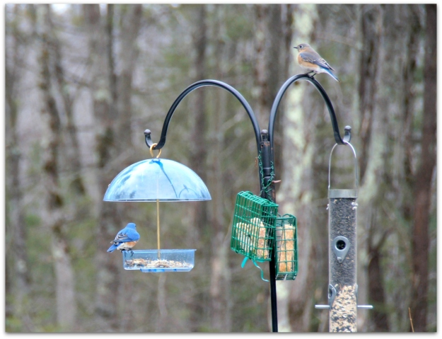 Feeder for bluebirds