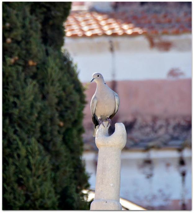 Dove in Rhodes