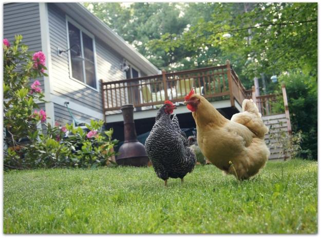 2 hens