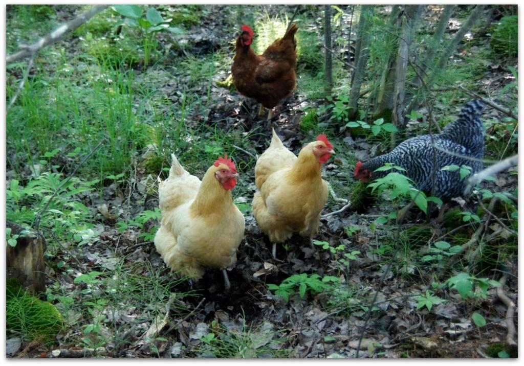 Free-ranging chickens