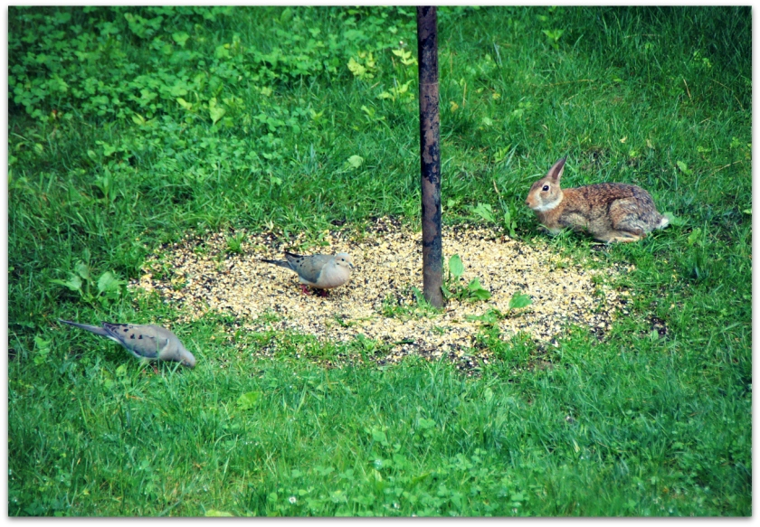 rabbit and mourning doves