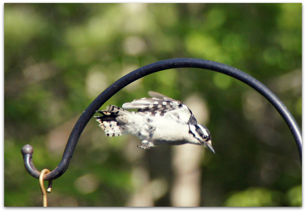 Downy Woodpecker Feathers Downy Woodpecker …