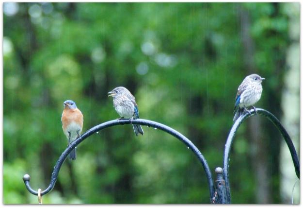 hungry baby bluebird