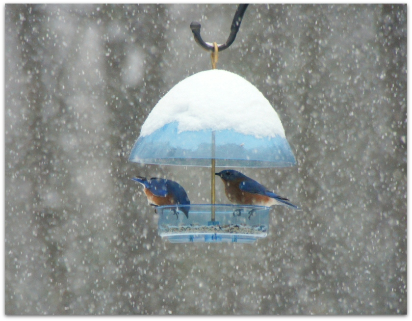 bluebirds in snow