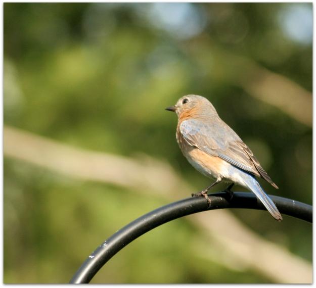 Eastern Bluebird female