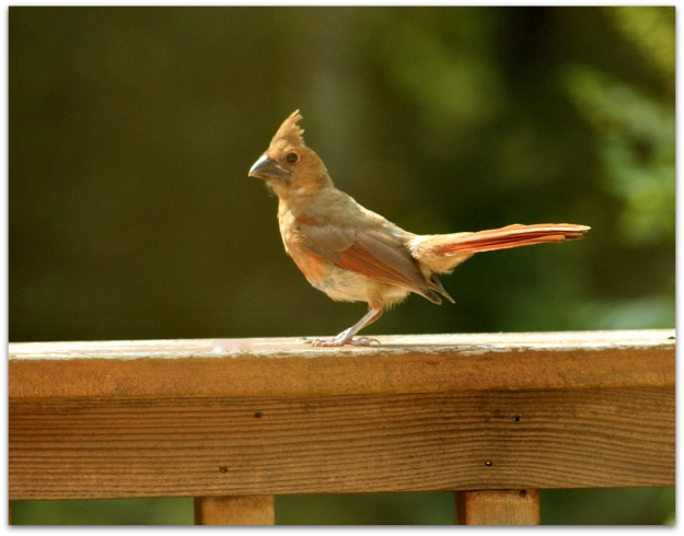 immature northern cardinal