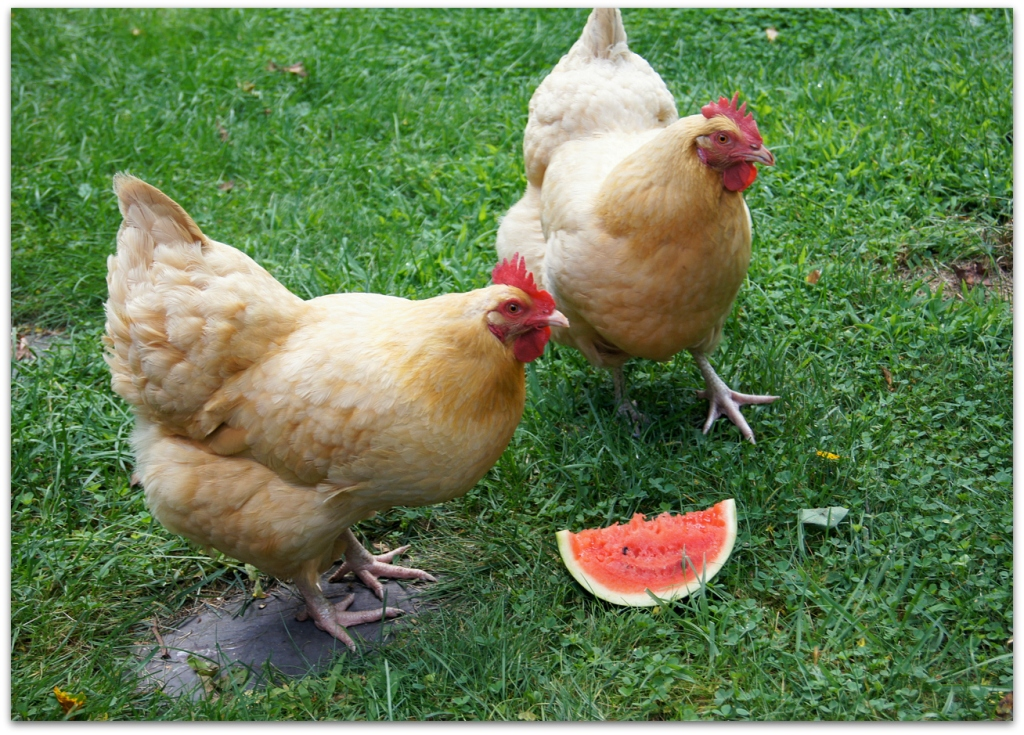 chickens watermelon