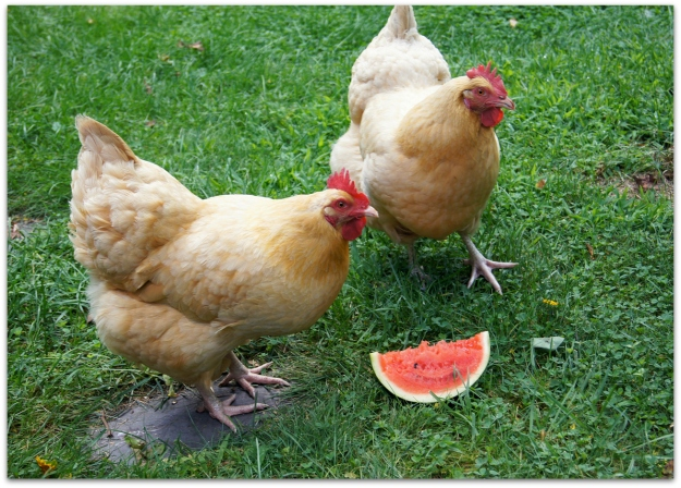 chickens watermelon