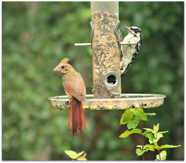 immature Northern Cardinal