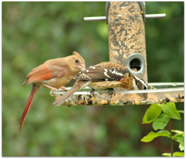 cardinal and grosbeak immature