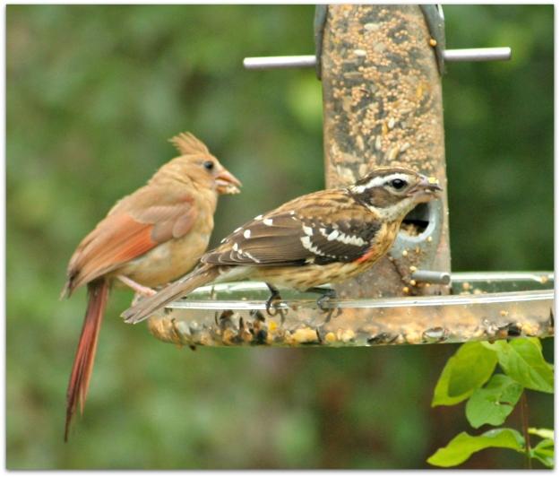 cardinal and grosbeak