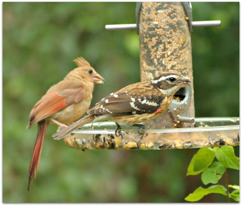 cardinal and grosbeak