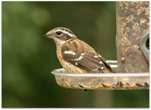 immature rose-breasted grosbeak