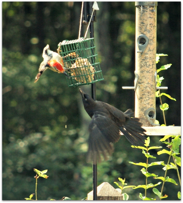 woodpecker grackle