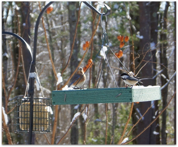 bluebird chickadee