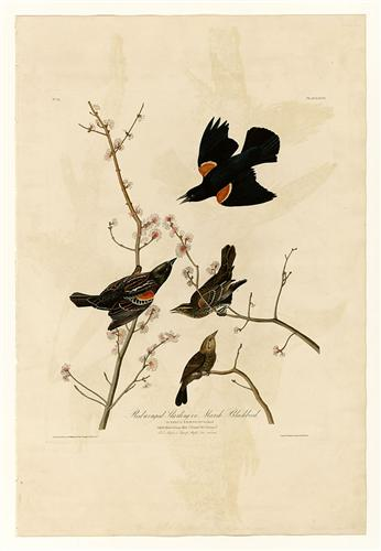 plate-67-red-winged-starling-or-marsh-blackbird.jpg!Blog