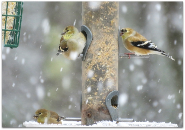 3 goldfinches