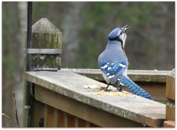 fat face blue jay