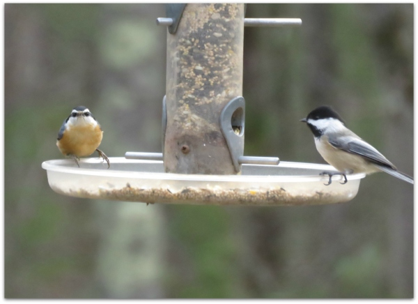 red-breasted nuthatch and chickadee