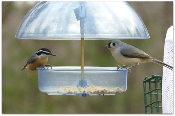 red-breasted nuthatch and titmouse