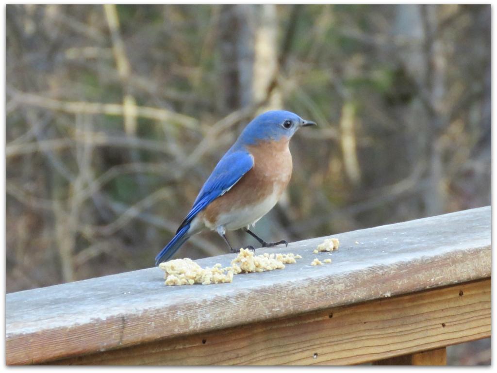 bluebird and suet dough