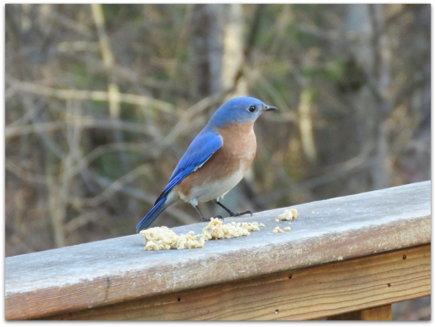 bluebird and suet dough