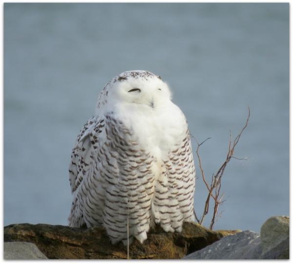 snowy owl rye