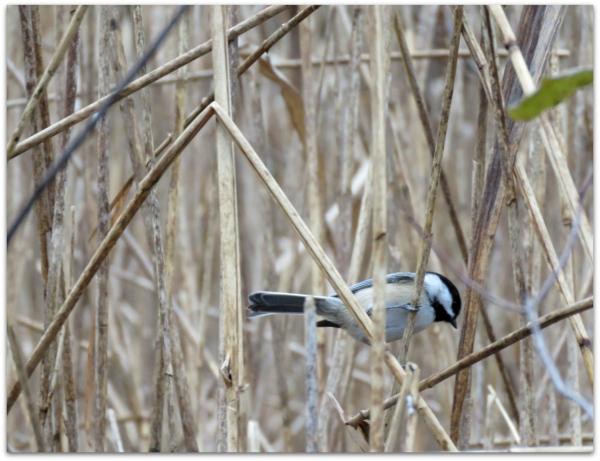 chickadee in reeds