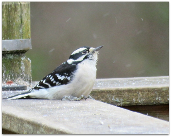 snow and downy woodpecker