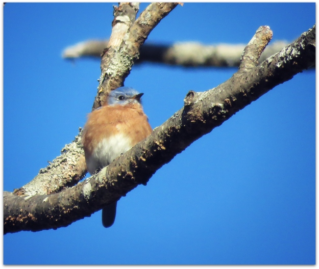bluebird fatso