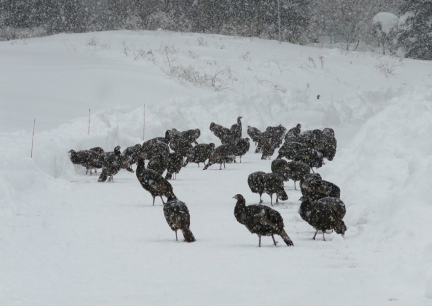 atlantic turkeys 2