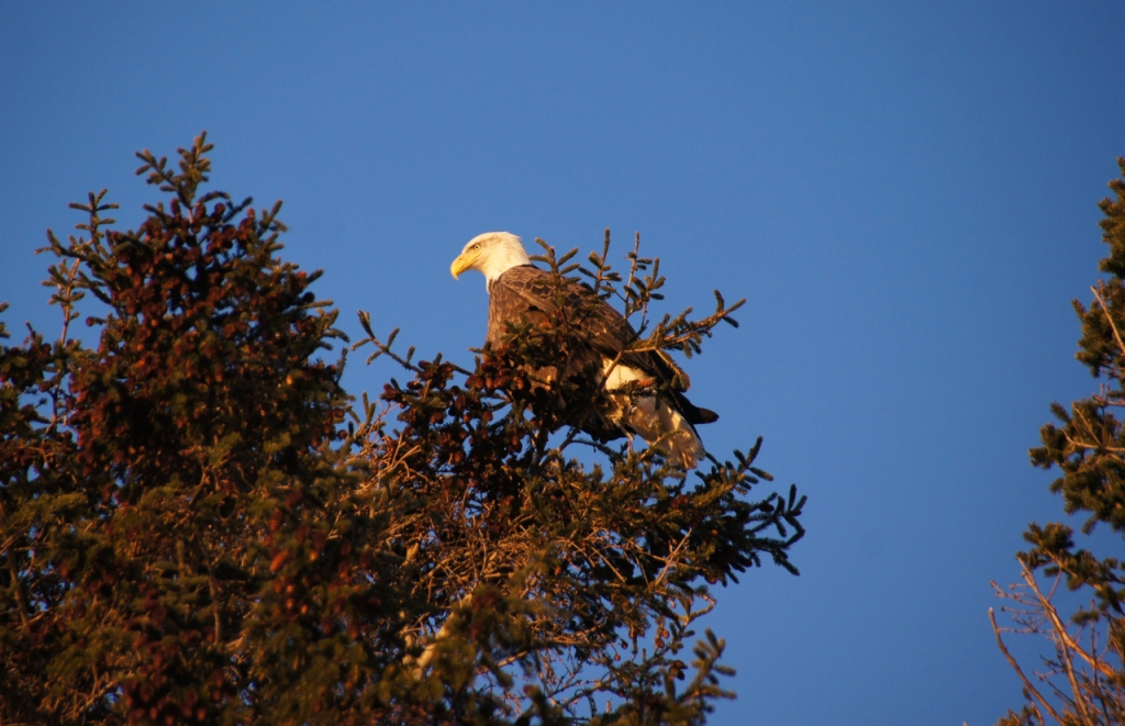 bald eagle north hampton