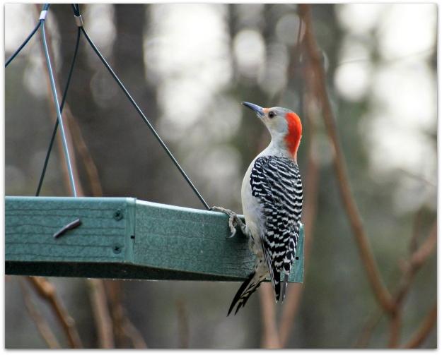 red-bellied woodpecker female
