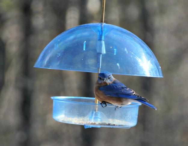 fierce bluebird