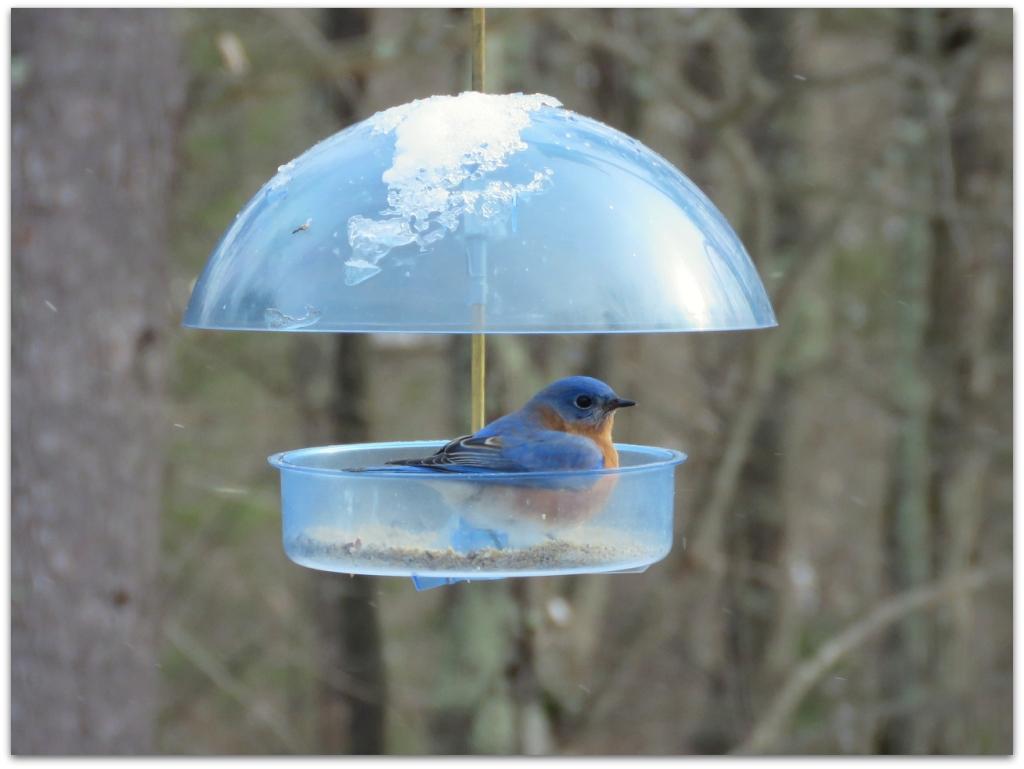 male bluebird dome feeder