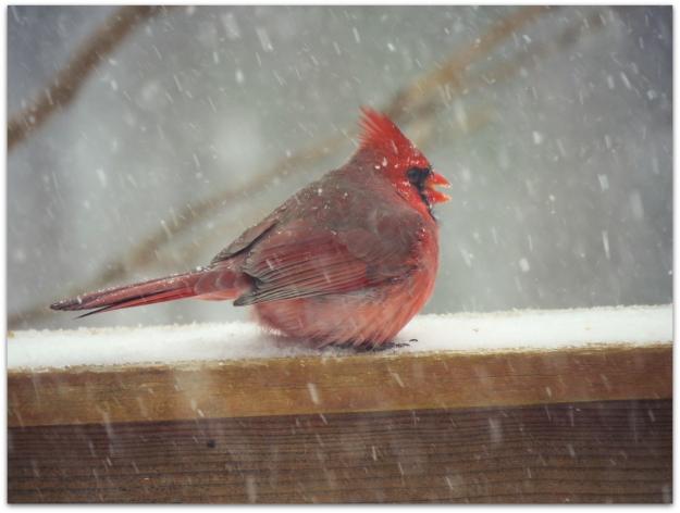 cardinal snow 1