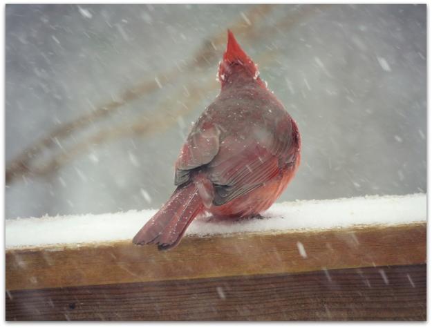 cardinal snow 2