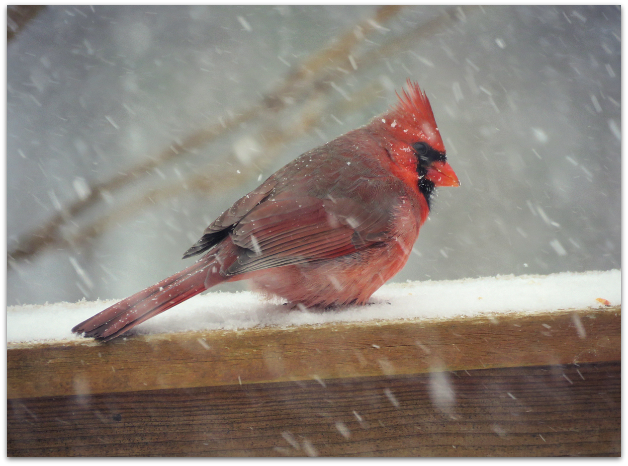 in a blizzard of birds the cardinal stands out amy s birds