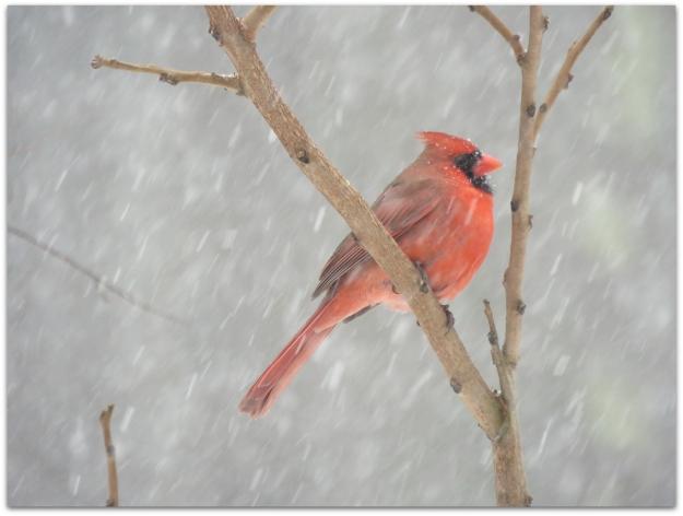 cardinal snow 5