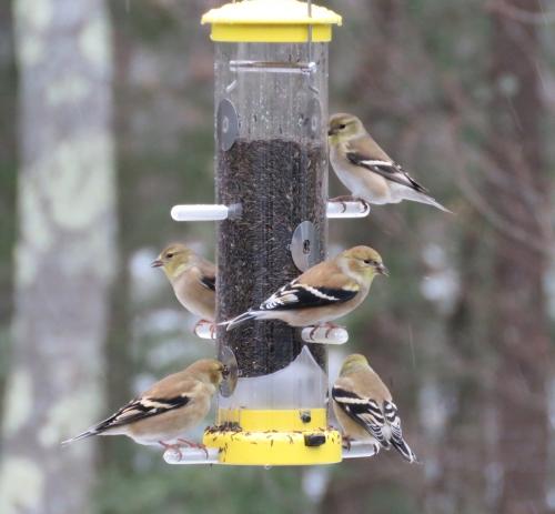 goldfinch feeder