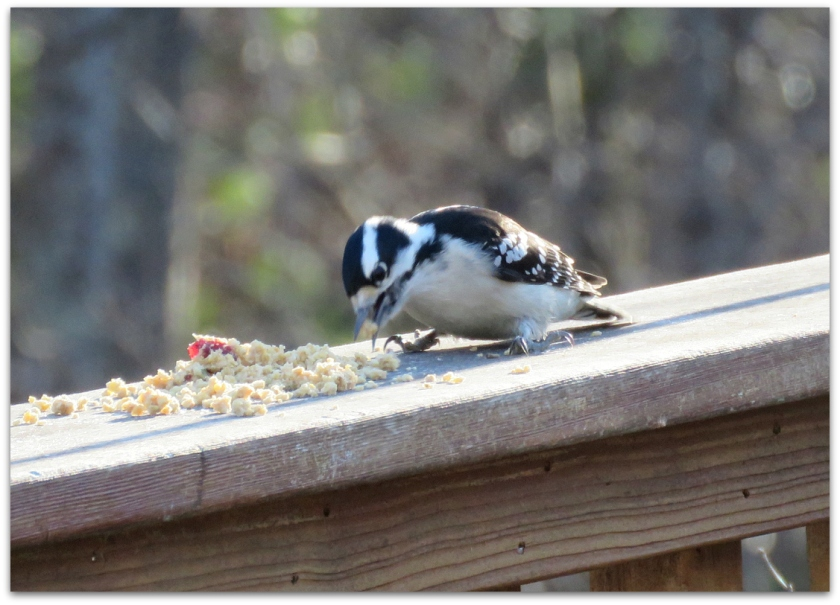 Downy Woodpecker eating suet dough