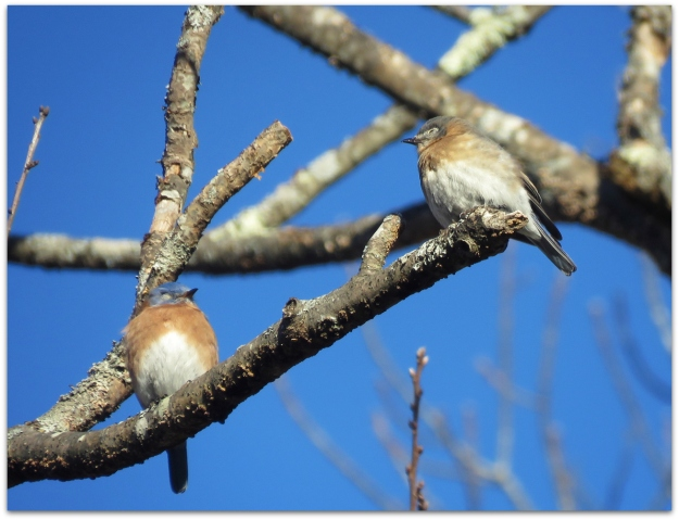 bluebirds on branch